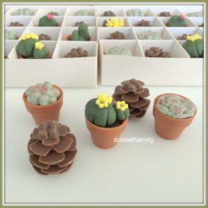 chocolade cactus en vetplant in potje